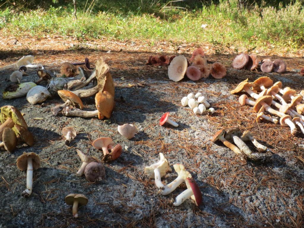 Sieniä kalliolla aurinkoisella säällä.